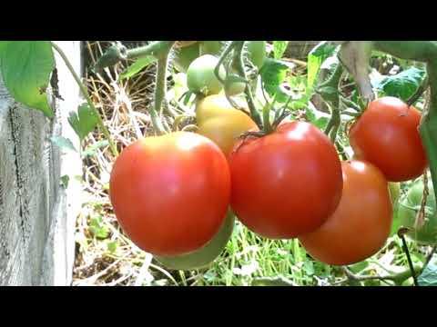 Не только ранний, урожайный, но и сладкий томат Ямал 200
