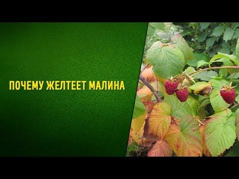 Почему желтеют листья малины Стеблевый и корневой рак!!!