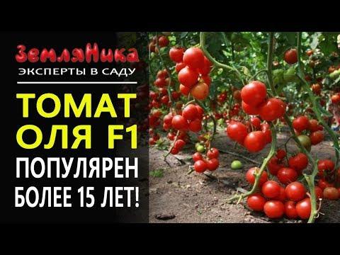 Холодостойкий и урожайный Томат Оля F1. Агрофирма Ильинична. Светлана Игнатова.