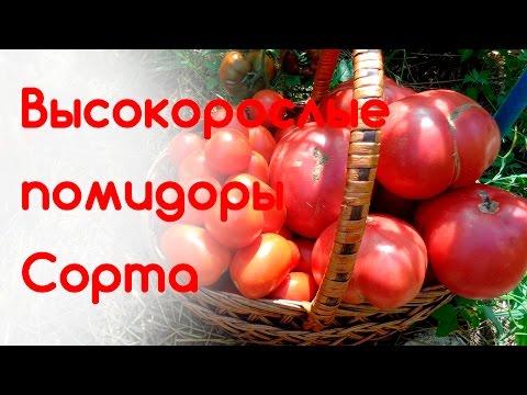 Высокорослые помидоры. Лучшие сорта