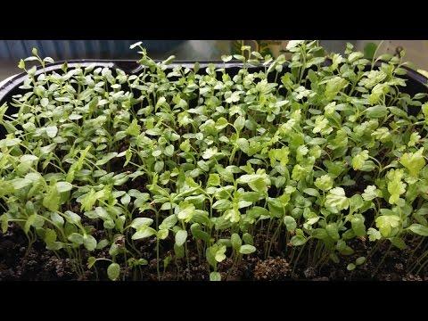 Выращивание рассады СЕЛЬДЕРЕЯ/ посев и уход