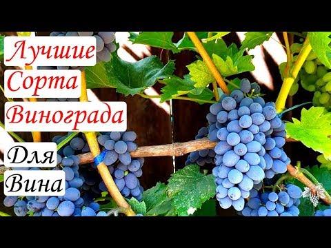 Самые лучшие сорта винограда для изготовления вина