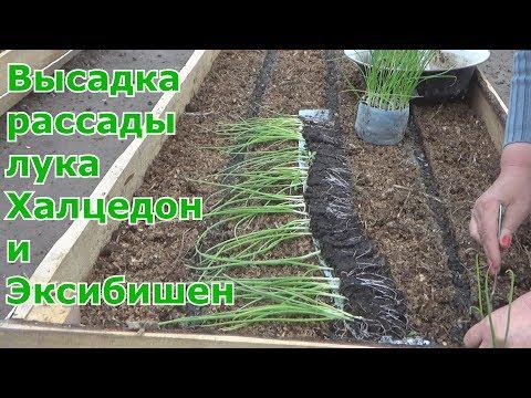 Лук репка за один сезон через рассаду из семян. Высадка рассады в грунт лука Халцедон и Эксибишен