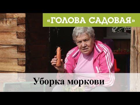 Голова садовая - Уборка моркови