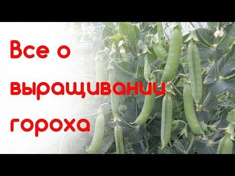 Все о выращивании гороха