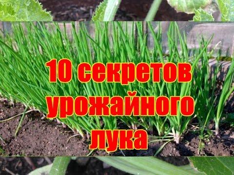 10 секретов урожайного лука / Как вырастить здоровый крупный лук