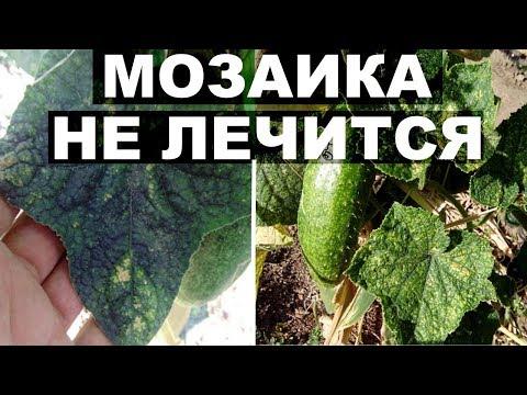 Болезни огурцов . Вирус мозаики огурца или зеленая мозаика огурцов