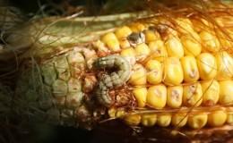Чем опасна хлопковая совка на кукурузе: обнаруживаем врага, затем быстро и эффективно боремся с ним