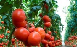 Обзор лучших сортов высокорослых помидоров для открытого грунта: помощь в выборе и отзывы дачников