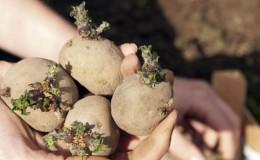 Технология подготовки картофеля к посадке