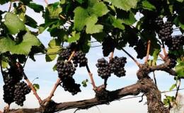 Инструкция для начинающих виноградарей: как размножить виноград отводками летом