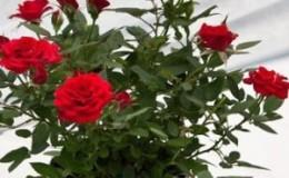 Как ухаживать за домашней розой в горшке — руководство для начинающих цветоводов