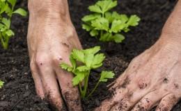 Сроки и правила посадки сельдерея для начинающих дачников
