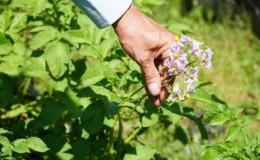 Лайфхаки опытных фермеров: зачем обрывать цветы у картофеля и что это дает