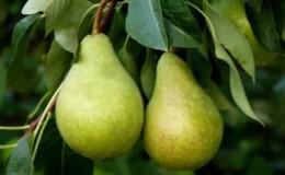 Неприхотливый высокоурожайный сорт груши «Виктория»