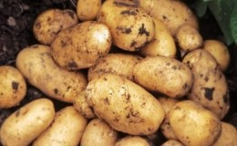 Ранний низкорослый сорт картофеля «Джувел» из Германии