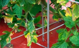 Почему появляются пятна на листьях помидоров и как с ними бороться