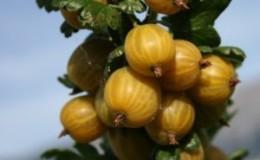 Сладкий, устойчивый к морозам, сорт крыжовника «Английский желтый»