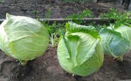 Высокоурожайный среднепоздний гибрид капусты Мегатон f1 с хорошей лежкостью