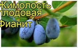 Популярный устойчивый сорт жимолости Фианит