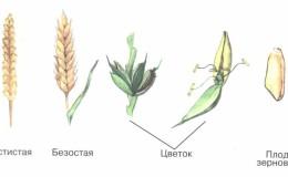 Колос пшеницы — строение, ботаническое описание и особенности