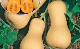 Выращиваем на своем участке среднеспелую тыкву «Гитара» с крупными плодами для длительного хранения