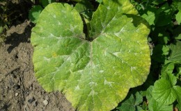 Почему желтеют листья у тыквы, что делать и как предотвратить возникновение проблемы