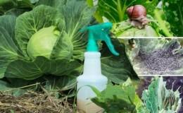 Как развести нашатырный спирт и обработать им капусту от вредителей