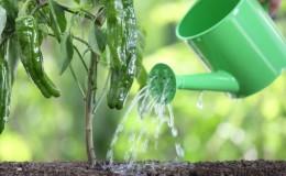 Как поливать перец в открытом грунте правильно: инструкция с советами опытных огородников