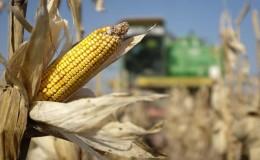 Собираем урожай вовремя: когда собирать кукурузу и как хранить её после сборки