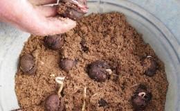 Как правильно вырастить грецкий орех в домашних условиях