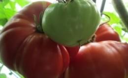 Помидор-гигант, размер плодов которого поражает воображение — выращиваем самостоятельно томат «Чудо сада»