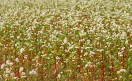 Технология выращивания гречихи от посева до сбора урожая