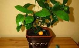 Как правильно обрезать мандариновое дерево в домашних условиях: пошаговая инструкция