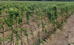 Как правильно производить посадку малины осенью и ухаживать за ней далее