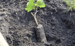 Пошаговая инструкция по посадке винограда саженцами летом для начинающих виноградарей