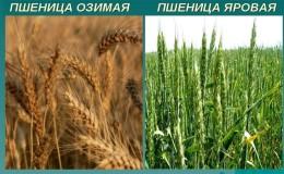 В чем разница между яровой и озимой пшеницей и как их отличить друг от друга