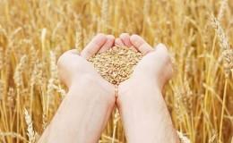 Родина пшеницы: откуда взялась пшеница на Земле