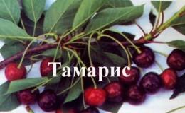 Скороплодный устойчивый сорт вишни «Тамарис»