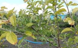 У яблони в июне желтеют листья: что делать и почему это происходит — руководство для садоводов