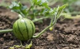 Особенности выращивания арбузов в Сибири в открытом грунте: пошаговая инструкция