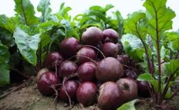 Голландский гибрид свеклы «Экшен f1»: особенности урожая и секреты правильного ухода за ним