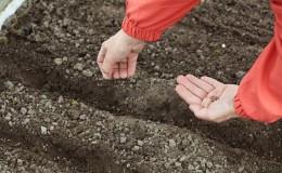 Как правильно сеять капусту под зиму