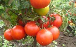 Рейтинг 15-ти лучших сортов низкорослых томатов для теплиц: выбираем подходящий по всем параметрам
