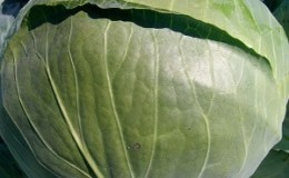 Среднепоздний гибрид белокочанной капусты Ларсия f1