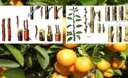 Как правильно привить мандарин в домашних условиях