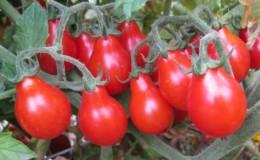 Как вырастить самостоятельно на своем участке невероятно красивый и вкусный томат «Матрешка»