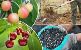 Правила подкормки вишни осенью и подбор лучших удобрений для этих целей
