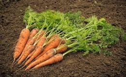 Главные причины почему не растет морковь на огороде