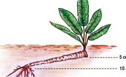 Пошаговая инструкция по посадке хрена осенью для начинающих огородников